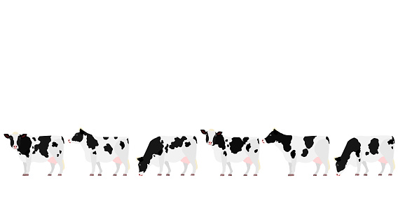 Holstein Friesian cattle in a row side view