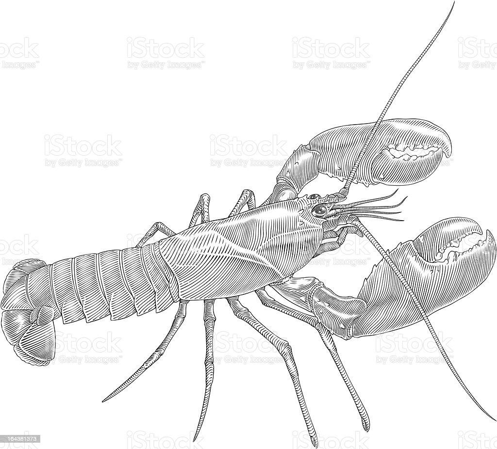 Homarus royalty-free homarus stock vector art & more images of animal