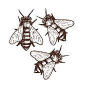 Hand drawn ink sketch illustration of honey bees, organic nature product. Vector