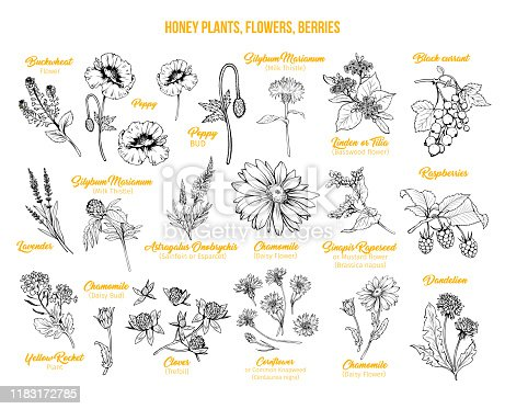 Blooming flowers poster free hand illustrations set. Honey plants with titles yellow cliparts. Botanical sketches with calligraphy. Monochrome floral blossom and engraved berries design collection