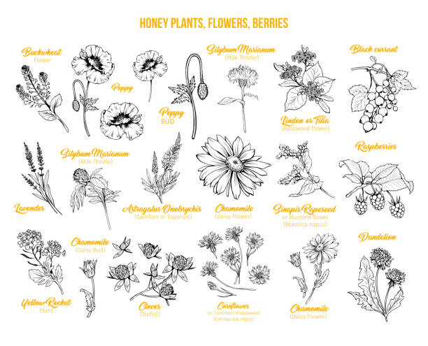 illustrazioni stock, clip art, cartoni animati e icone di tendenza di honey plants ink sketches set - miele dolci