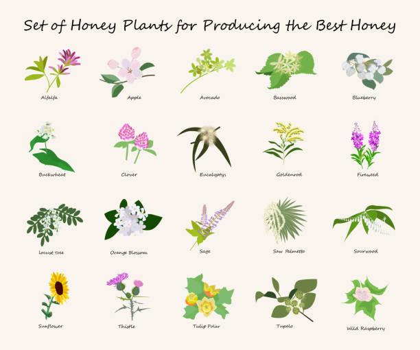 illustrazioni stock, clip art, cartoni animati e icone di tendenza di miele set di planty - erba medica