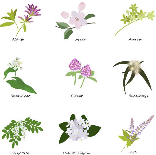 illustrazioni stock, clip art, cartoni animati e icone di tendenza di honey planty set - erba medica