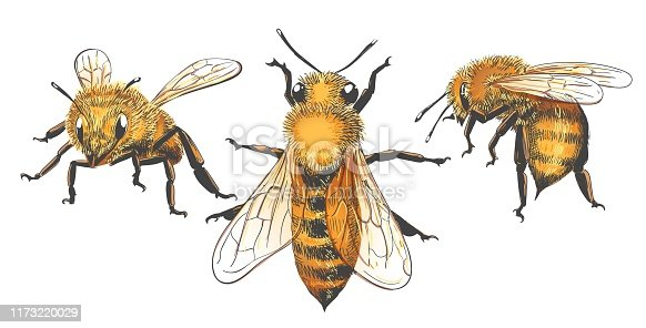 Honeybee vintage illustrations. Colored honey vector sketch, color retro apis insect graphic collection
