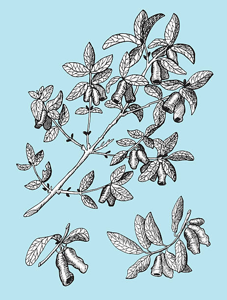 Honeyberry on blue background Branch of honeysuckle with leaves and berries, monochrome hand drawn illustration on blue background honeysuckle stock illustrations