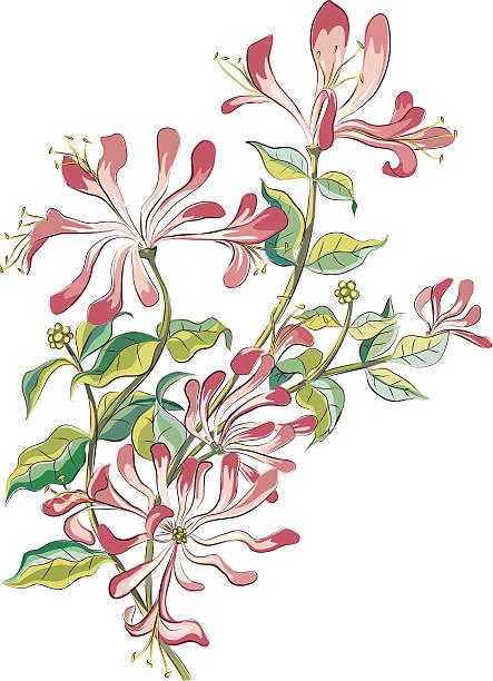 Royalty Free Honeysuckle Clip Art, Vector Images ...