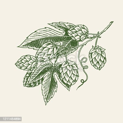 Hops plant with leaves in vintage style. Engraved monochrome sketch for banner or logo, beer or book. Vector illustration in doodle retro style. Hand drawn outline of herb