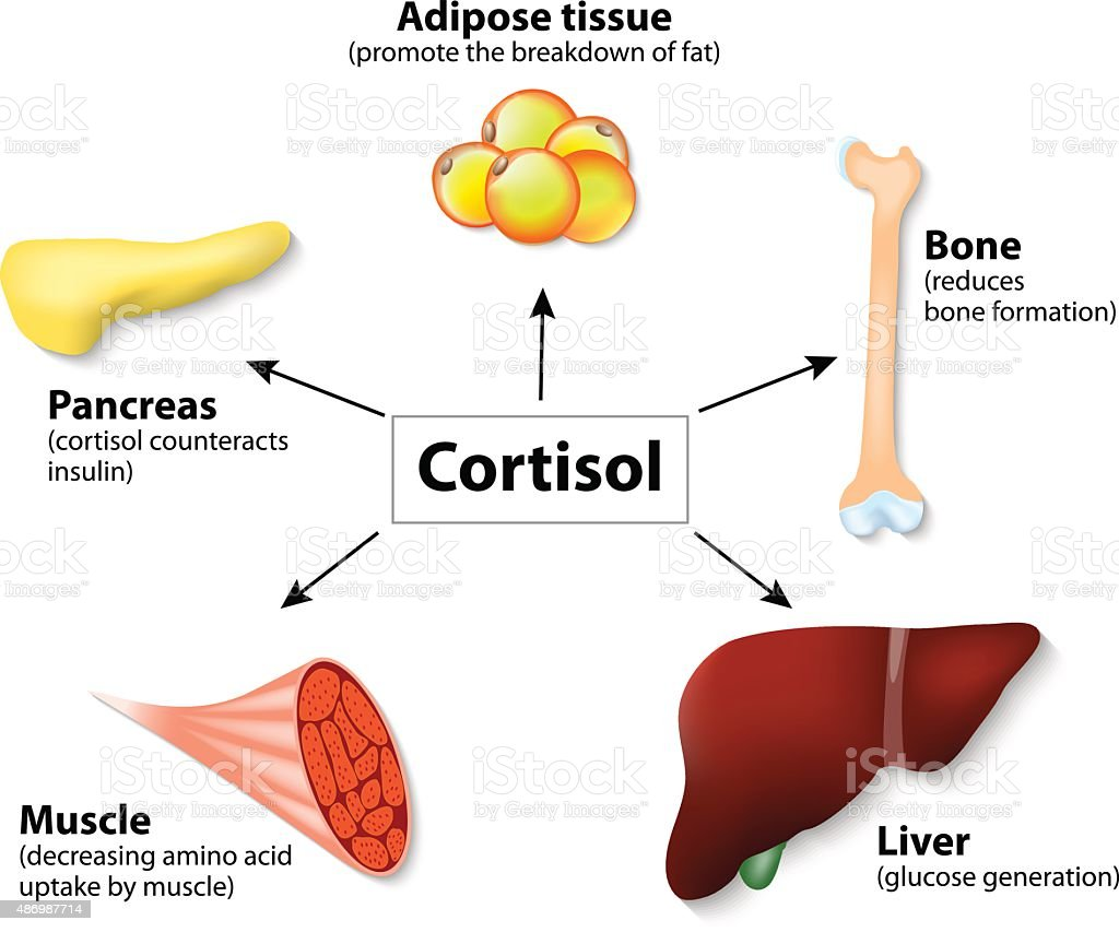 Hormone cortisol and human organs vector art illustration