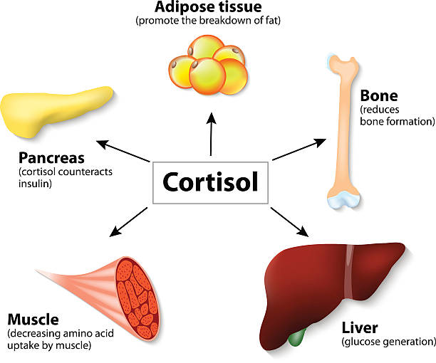 Hormone cortisol and human organs Hormone cortisol and human organs. main functions cortisol in the body. It is hormone Released in response to stress and low blood-glucose concentration. adipose tissue stock illustrations