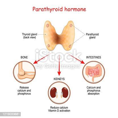 istock Hormones produced by the parathyroid gland. Parathyroid hormone (PTH). 1219033681