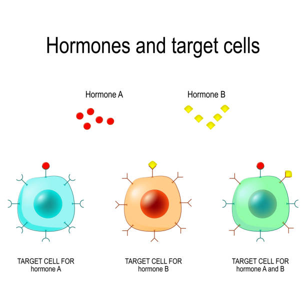 Hormones, Receptors and Target Cells. Hormones, Receptors and Target Cells. each type of hormone is designed only certain cells. These cells will have receptors on them that are specific for a certain hormone. Vector illustration for medical, biological, and educational use hormone stock illustrations