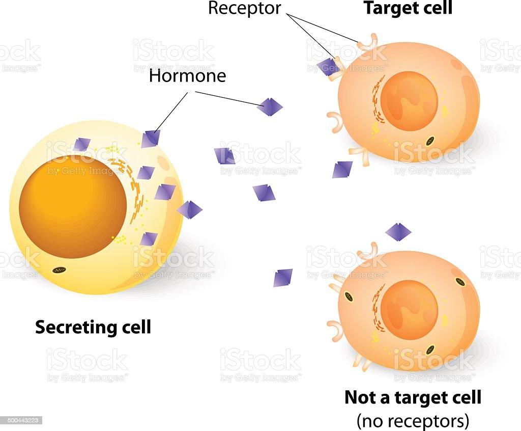 Hormones, receptors and target Cells vector art illustration