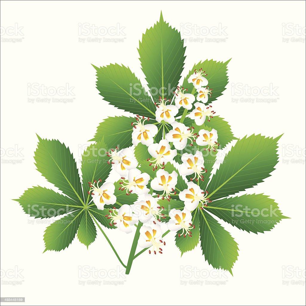 Horse chestnut flower isolated object vector art illustration