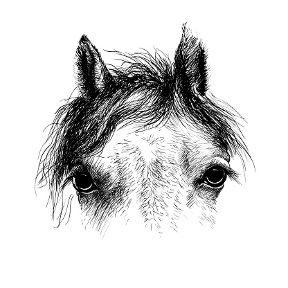 Horse head, ink drawing sketch   isolated on white