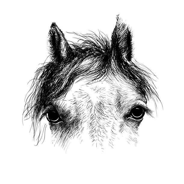 ilustraciones, imágenes clip art, dibujos animados e iconos de stock de tinta de cabeza, de caballo dibujo sketch aislado en blanco - caballo