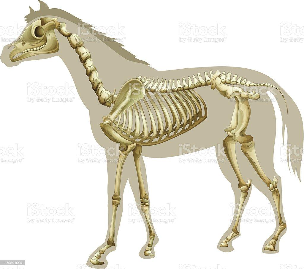 Vectores de Vista Lateral De Esqueleto De Caballo Caballos Equus ...
