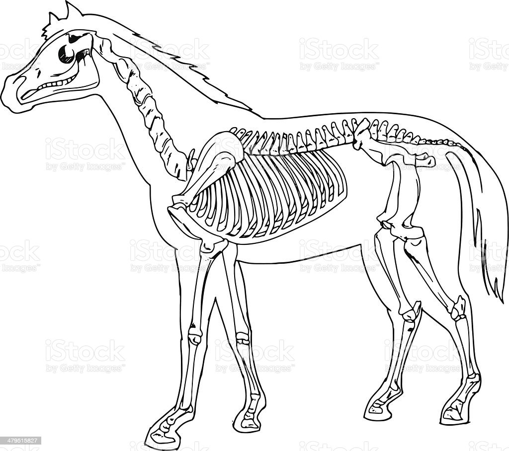 Horse Skeleton Stock Vector Art & More Images of Anatomy 479515827 ...