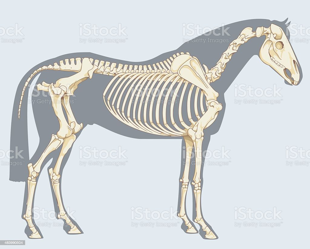 Horse skeleton vector art illustration