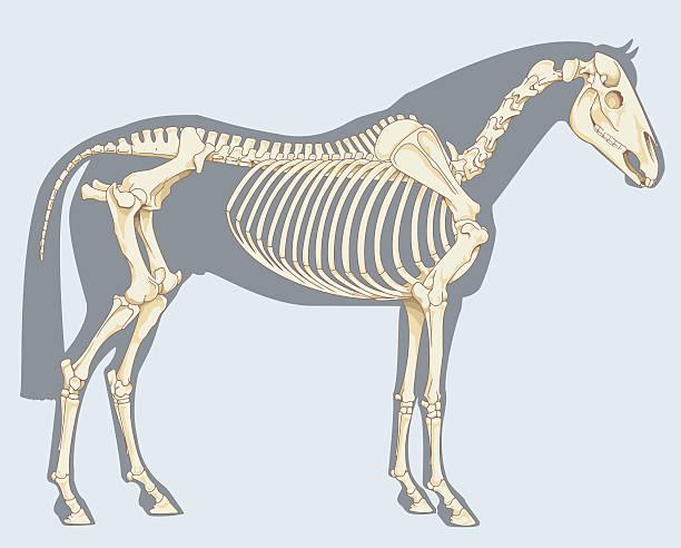 horse skeleton - animal skeleton stock illustrations