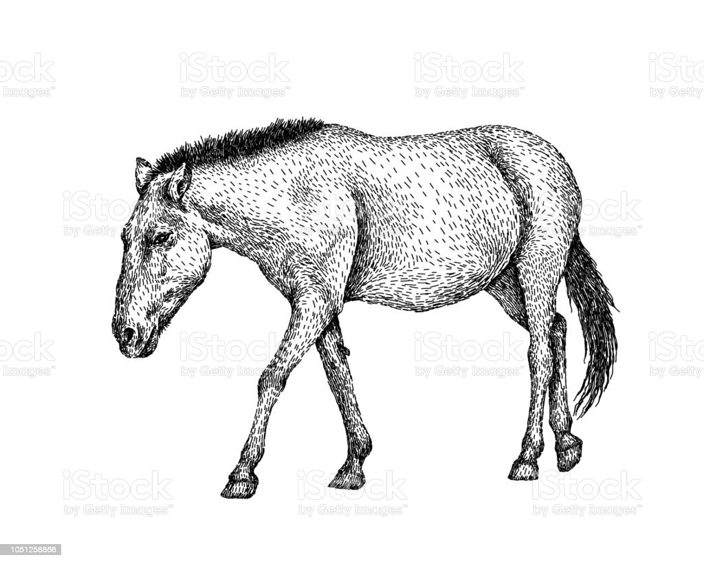 Horse Sketch Style Hand Drawn Illustration Of Beautiful Black And White Animal Line Art Drawing In Vintage Style Realistic Image Stock Illustration Download Image Now Istock