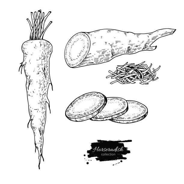 Horseradish hand drawn vector illustration. Isolated Vegetable engraved style object. Horseradish hand drawn vector illustration. Isolated Vegetable engraved style object. Detailed vegetarian food drawing. Farm market product. Great for menu, label, icon horseradish stock illustrations