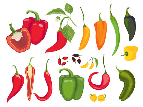 Hot peppers. Mexican chile fresh vegetarian food spices paprika cayenne exotic products vector
