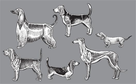 Hound Dogs- Dachshund, Blood, Greyhound, Basset, Afghan, Beagle