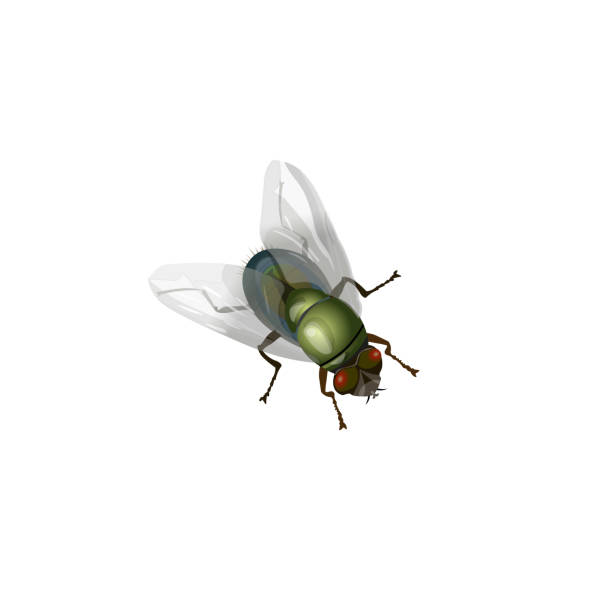 House fly vector Realistic green fly insect. Vector illustration isolated on white background. fly insect stock illustrations