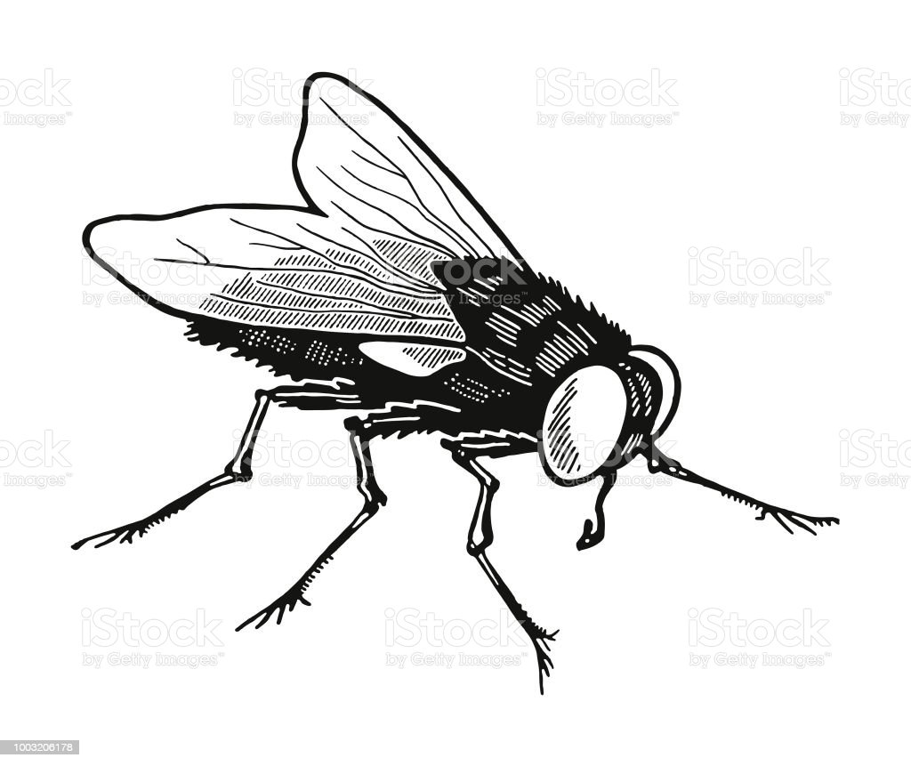 Housefly Stock Vector Art & More Images of Animal 1003206178 | iStock