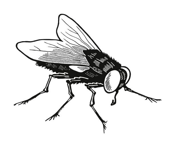 Housefly Housefly fly insect stock illustrations