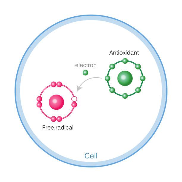 illustrations, cliparts, dessins animés et icônes de fonctionnement des antioxydants sur les dommages des radicaux libres - antioxydant