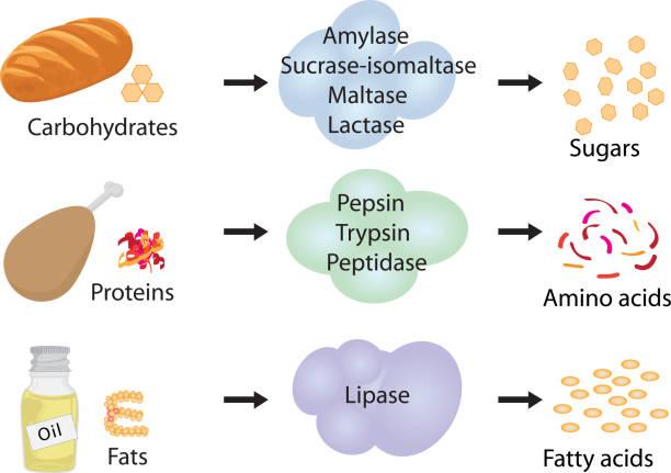 wie enzyme wirken. - enzyme stoffwechsel stock-grafiken, -clipart, -cartoons und -symbole