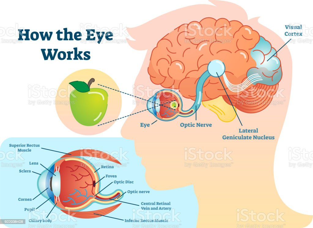 Brain Human Eye Diagram - DIY Enthusiasts Wiring Diagrams •