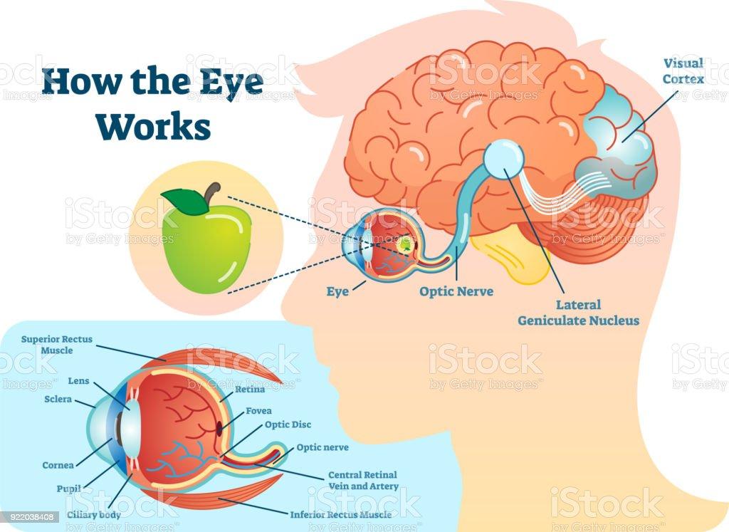 How Eye Work Medical Illustration Eye Brain Diagram Eye Structure ...