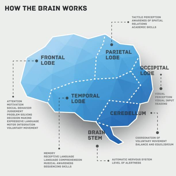 How the brain works infographic design Vector illustration of a low poly infographic showing how the brain works. temporal lobe stock illustrations