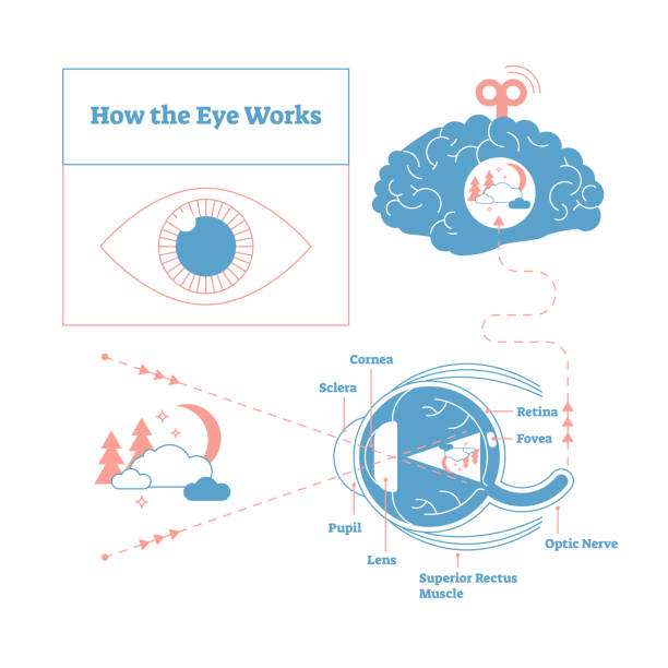 how the eye works medical scheme poster, elegant and minimal vector illustration, eye - brain labeled structure diagram. stylized and artistic medical design poster. - сетчатка stock illustrations