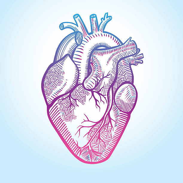 royalty free human heart clip art vector images illustrations