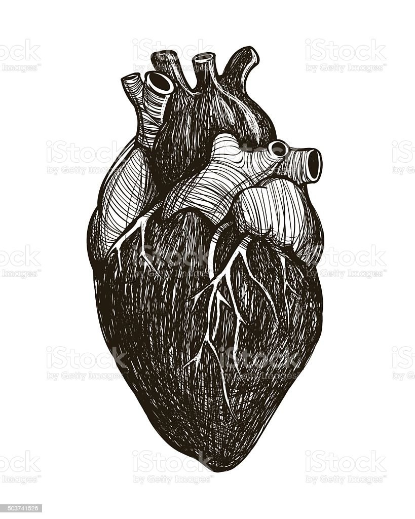 Human anatomical heart vector art illustration