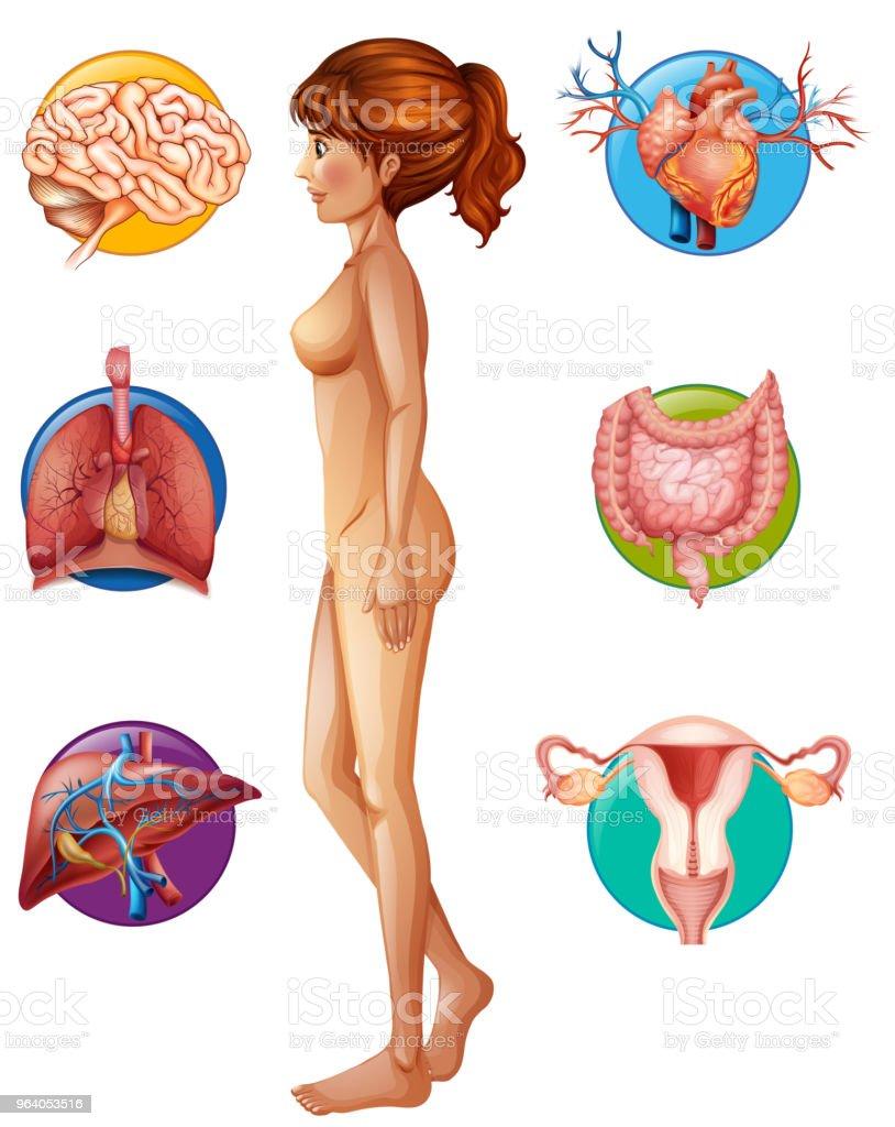 人体解剖学とオルガン - アメリカ合衆国のベクターアート素材や画像を
