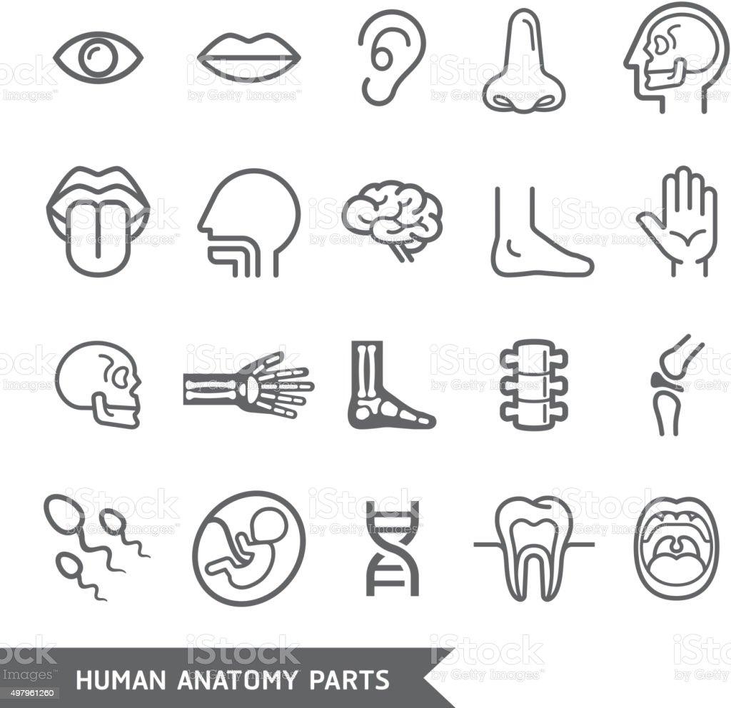 Menschliche Anatomie Körper Teile Detaillierte Symbole Set Stock ...