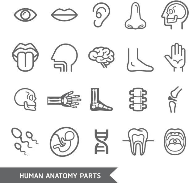Human anatomy body parts detailed icons set. vector art illustration