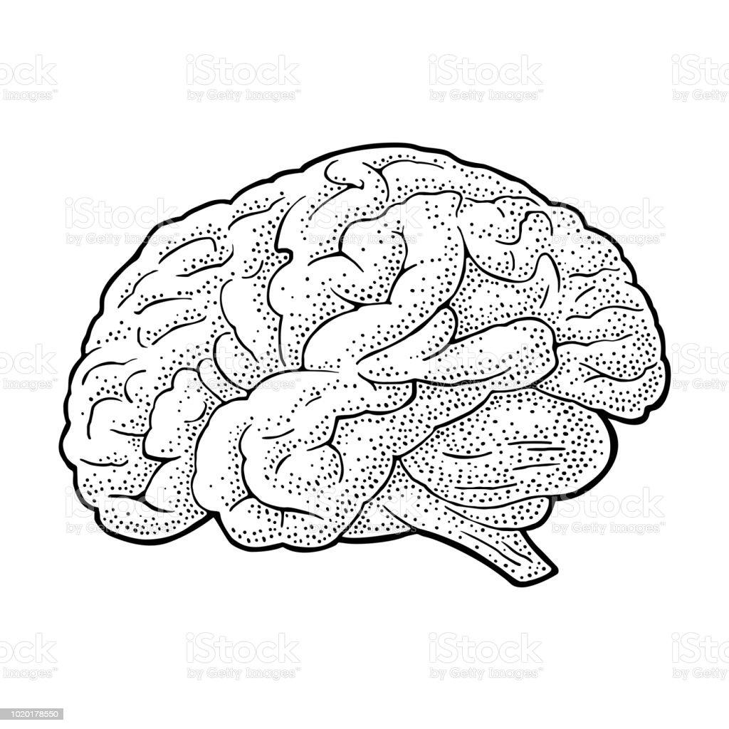 Human anatomy brain. Vector black vintage engraving illustration - illustrazione arte vettoriale