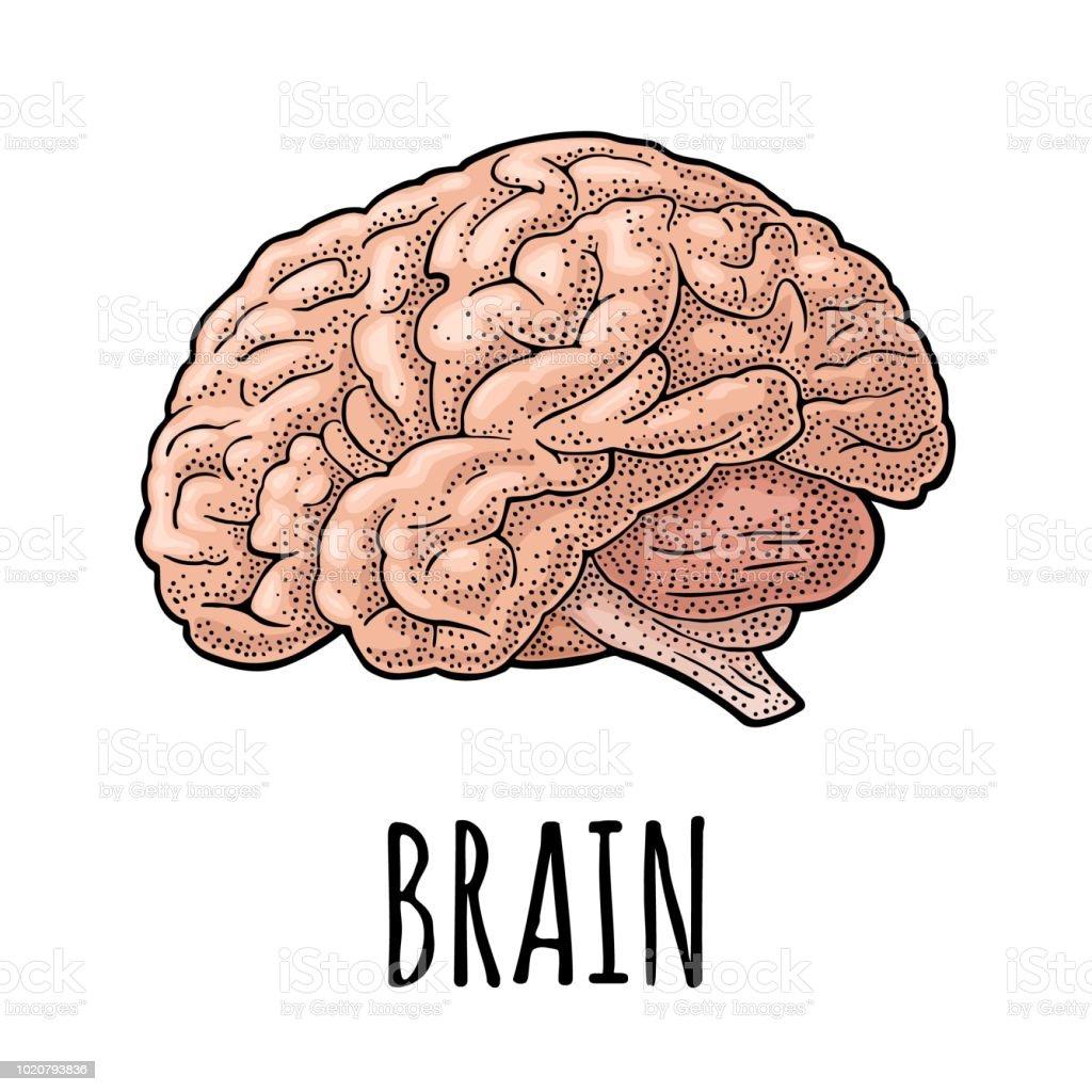 Human anatomy brain. Vector color vintage engraving illustration - illustrazione arte vettoriale