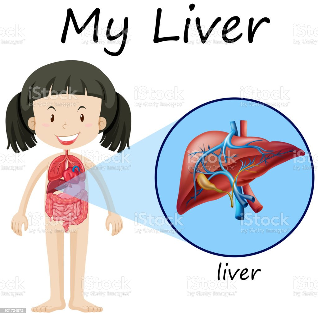 Human Anatomy Diagram With Girl And Liver Stock Vector Art & More ...