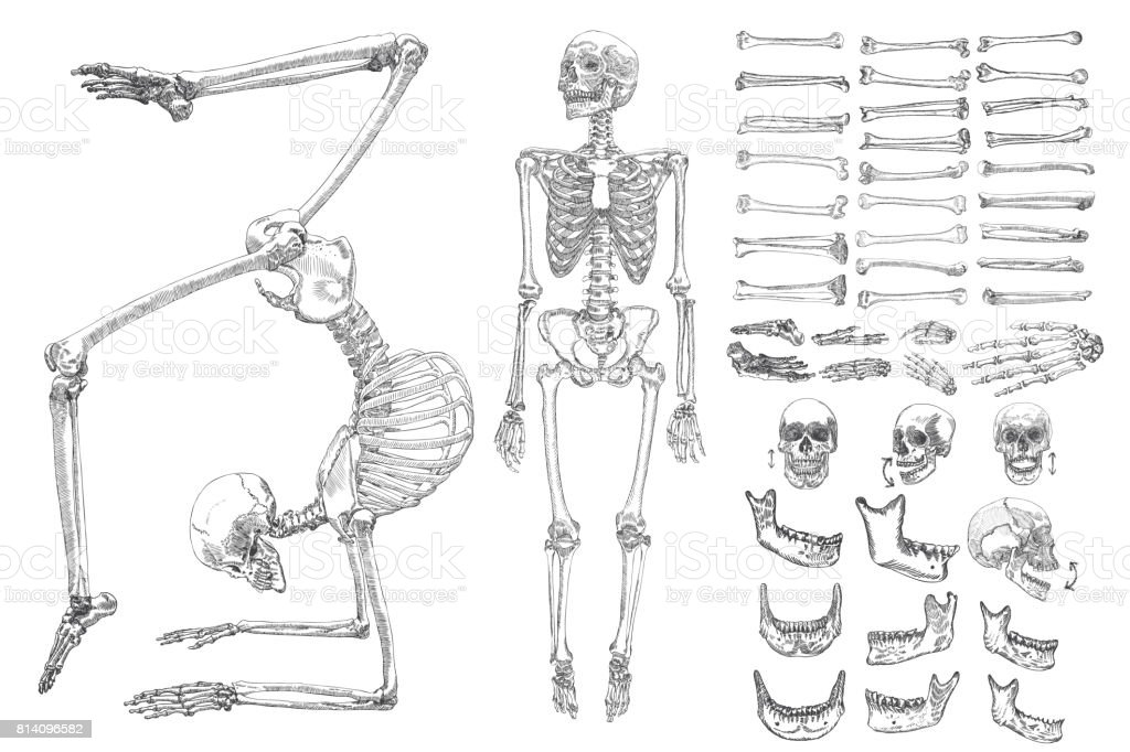 Human anatomy drawing monochrome set with skeletons and single bones isolated on white background. Character creation set with moving arms, legs, jaw on skull and fingers on wrist Vector illustration.