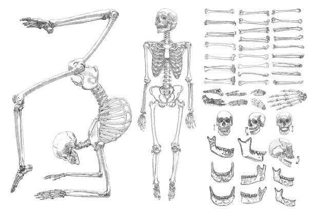 stockillustraties, clipart, cartoons en iconen met menselijke anatomie tekening monochroom set met skeletten en één botten geïsoleerd op een witte achtergrond. jonge jaren ingesteld met het bewegen van armen, benen, kaak op schedel en vingers op pols vectorillustratie. - arm lichaamsdeel