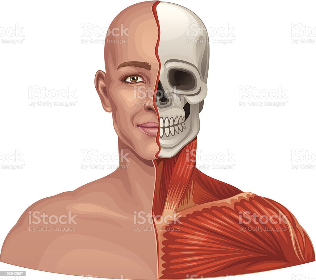 Human Anatomy Facial Muscles And Skull Stock Vector Art More
