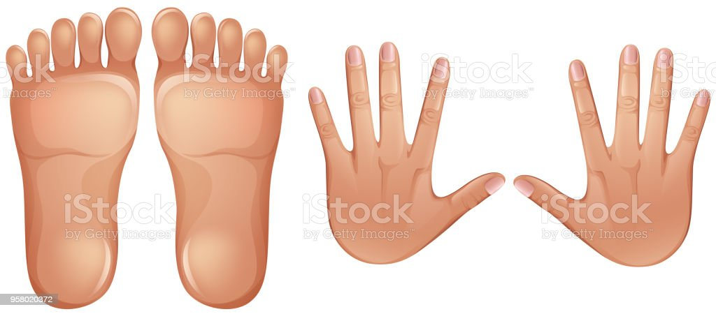Human Anatomy Feet And Hands Stock Vector Art More Images Of