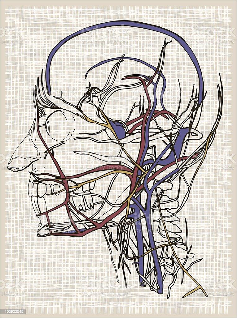Anatomía Humana Cabeza Dibujo - Arte vectorial de stock y más ...