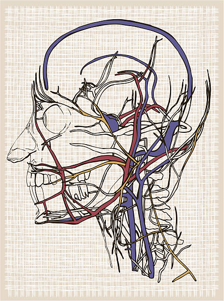 Human anatomy head. Drawing vector art illustration